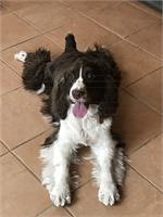 Mid Atlantic English Springer Spaniel Rescue - Available Dogs